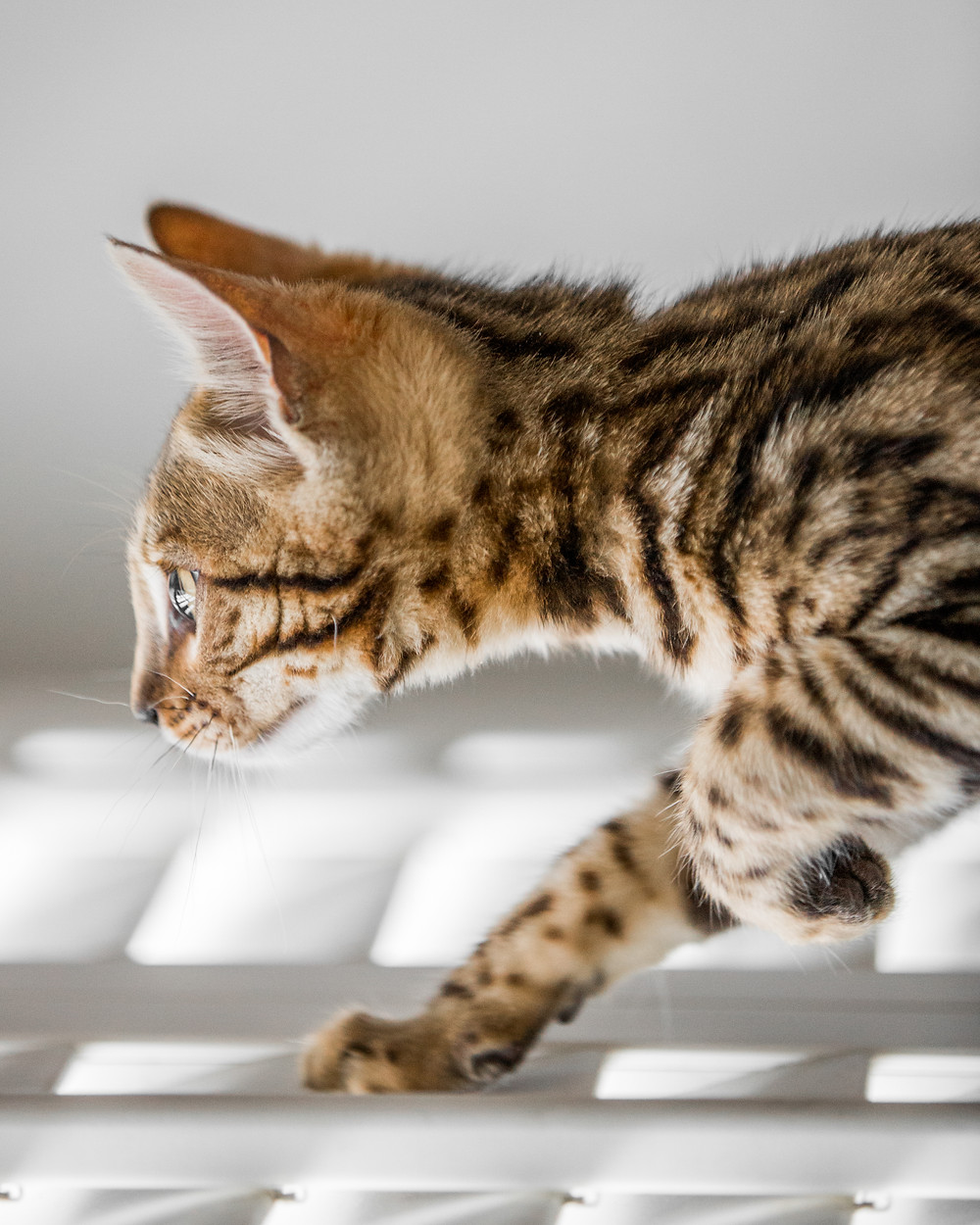 Cat photography in London. Bagheera the Bengal Kitten