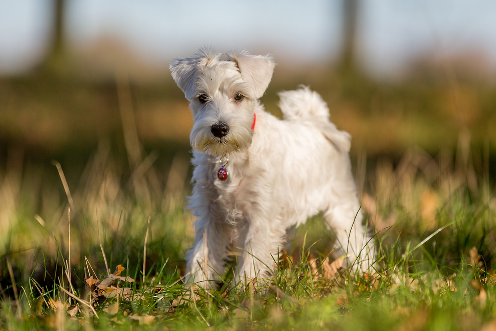 Dog photography in London. Charley the Miniature Schnauzer