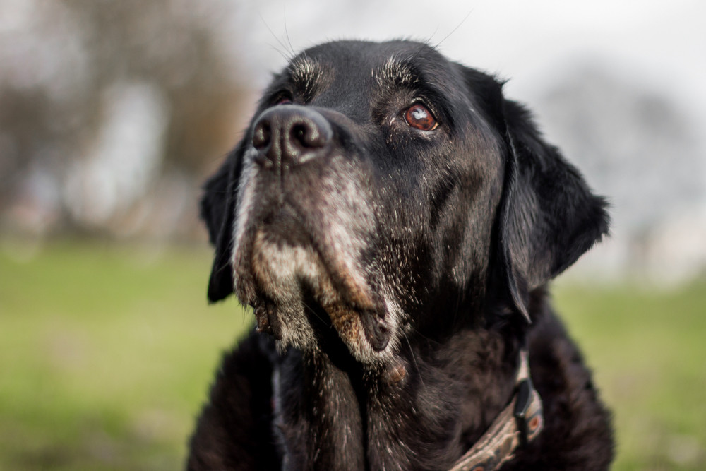 Dog Photography in London.  Oban the Black Labrador.