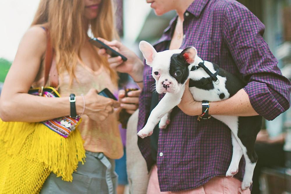 Dog phtography in New York. A Boston terrier in Manhatten