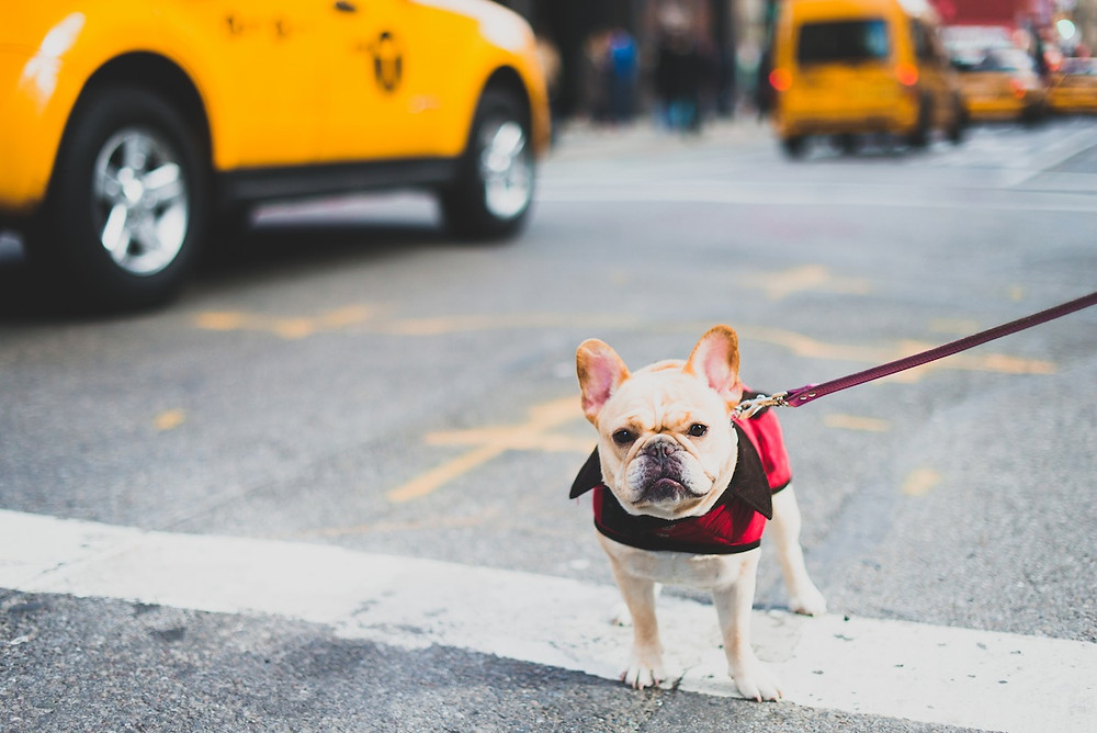 Dog photography in New York. A French Bulldog in NYC.
