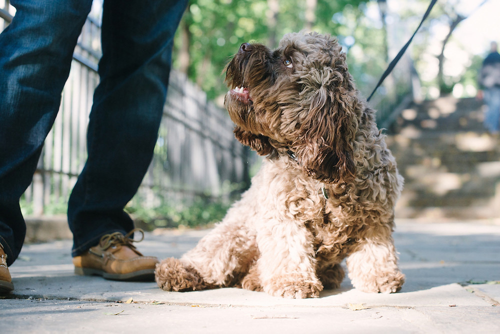 Dog photography in New York. Marzi the cockapoo