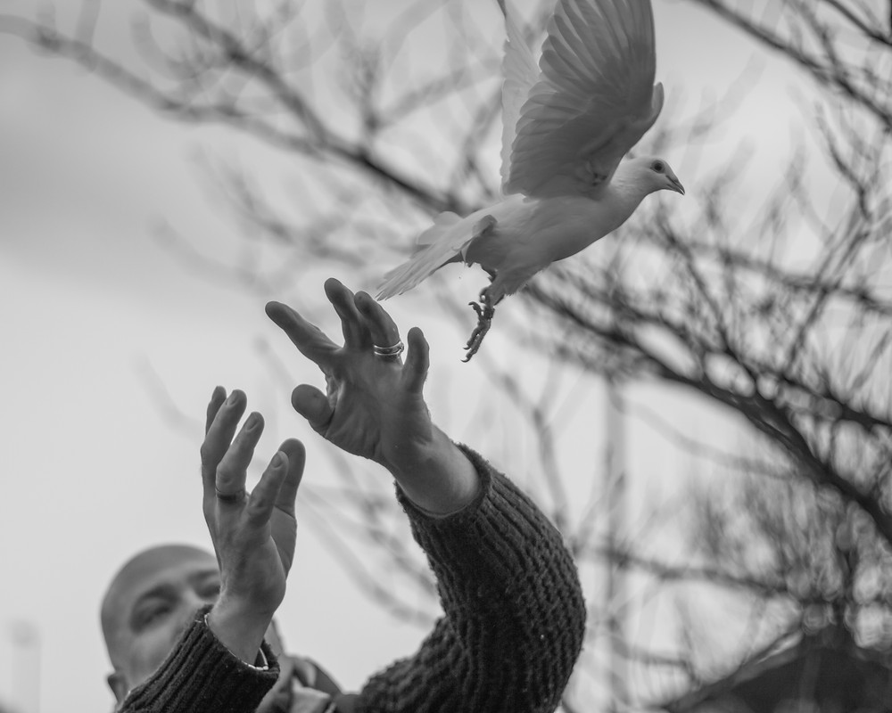 Animal photography in the UK. White dove being released
