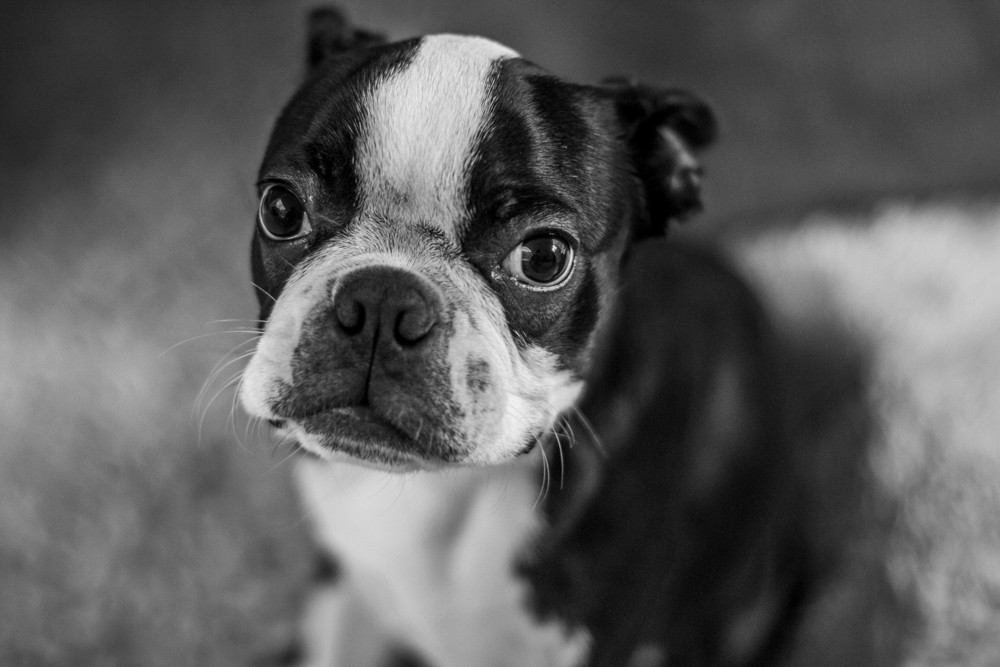 London Dog Photography. Elvis the Boston Terrier in black and white.