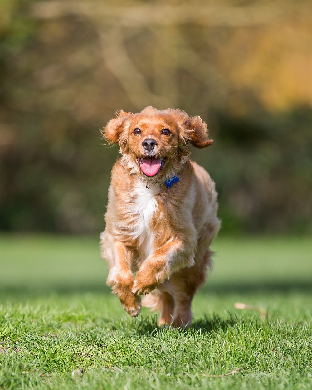 Pet photography in London. Parker running from the front