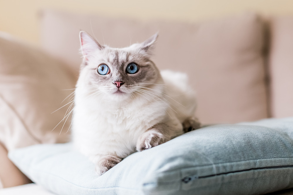 Pet photography in London. Siamese cat