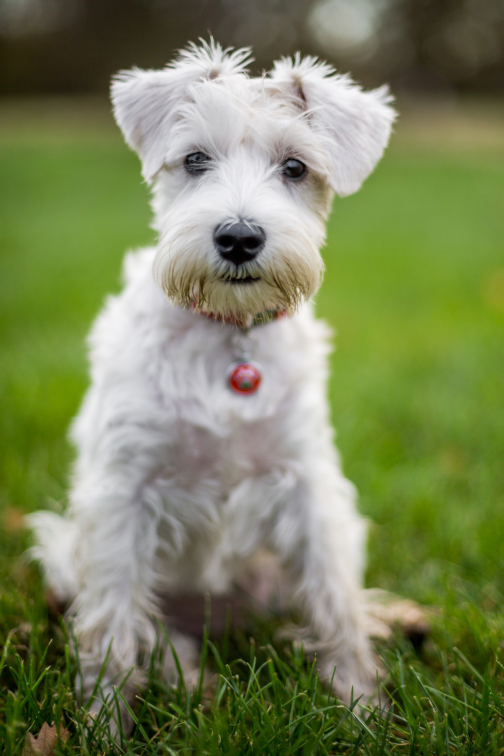Dog photography in London. Charley the Miniature Schnauzer portrait