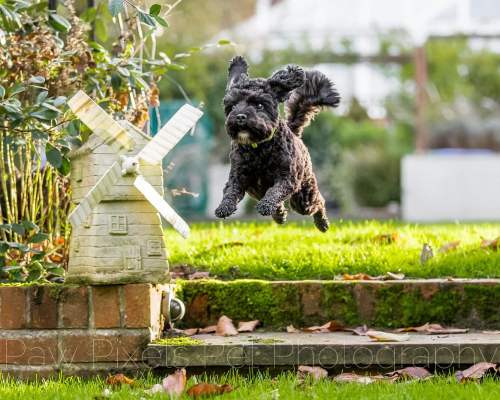 Milo the cockerpoo jumping beside a windmill