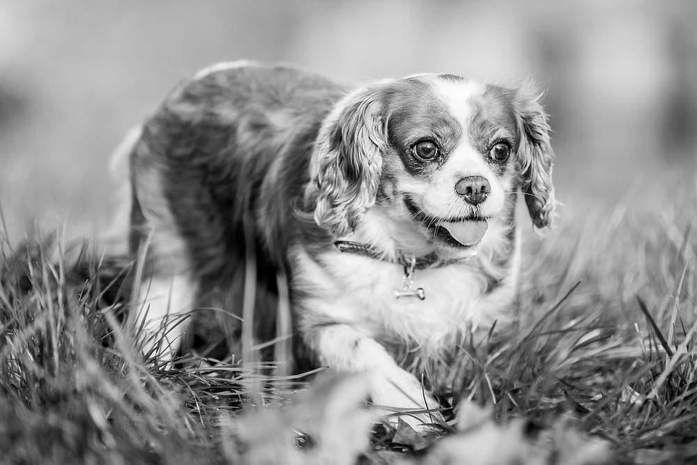 Dog Photography in London, Tiffany the King Charles Spaniel in the park