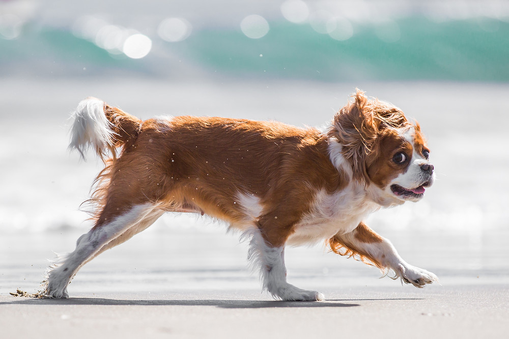 Animal photography in London. King Charles Spaniel, Tiffany running on the beach