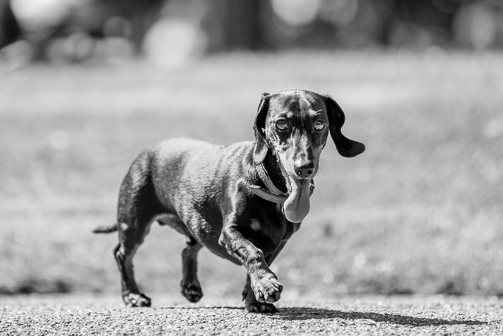 Animal photography in London. Dachshund - Dexter