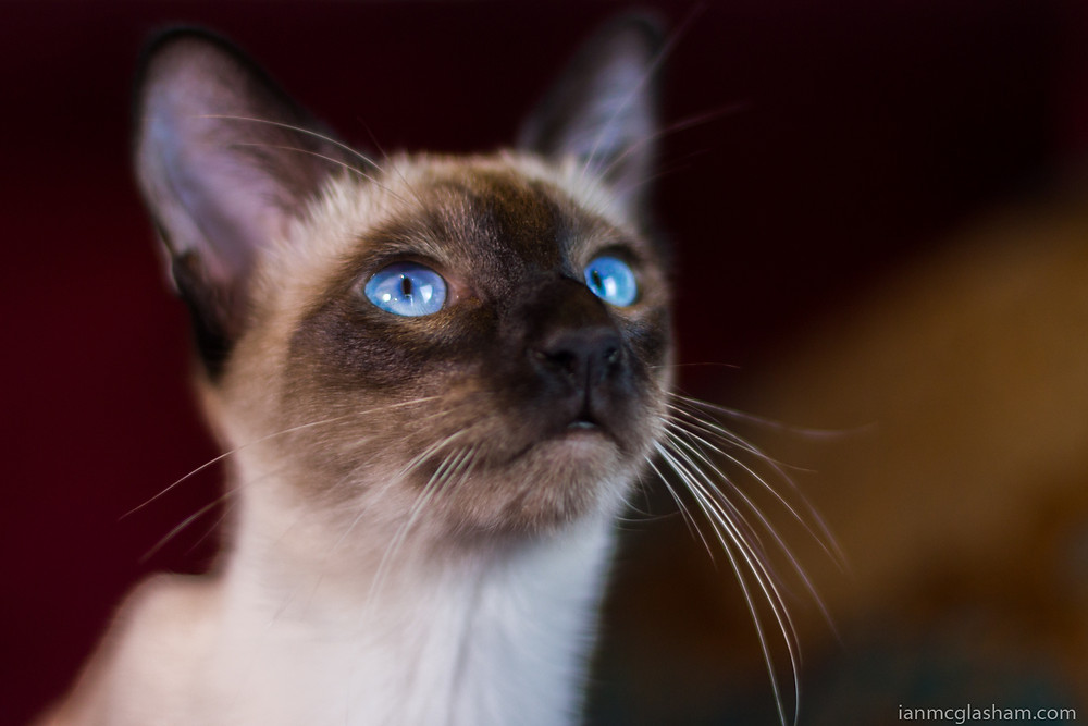 Cat photography in London. Xena the seal point siamese cat looking for food.