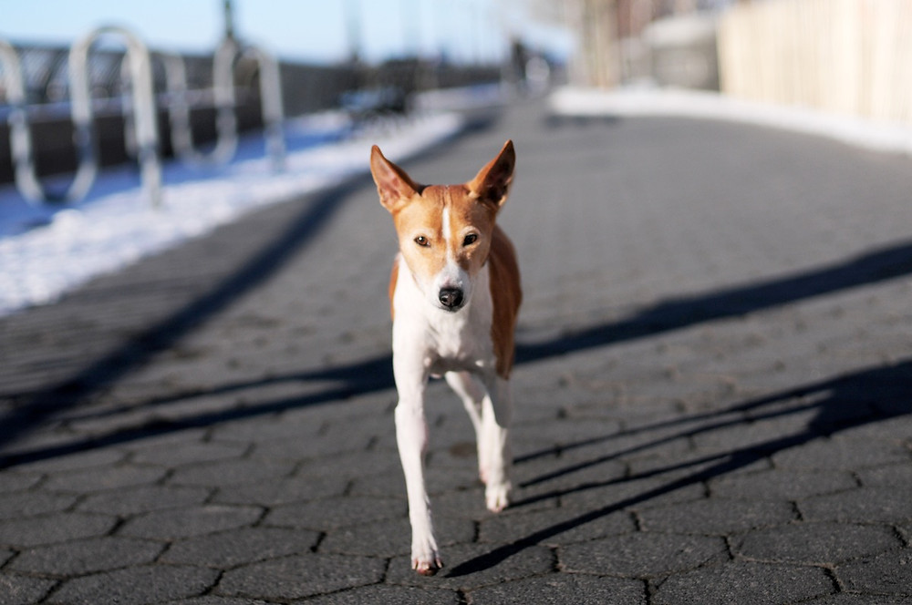 Dog photography in New York. Waldo the terrier walking in NYC