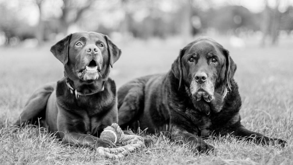Talisker and Oban - Labradors