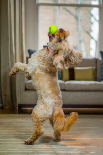 Cookie - Cockapoo - London