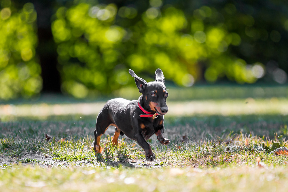 Pet photography in London. Dachshund - Dexter