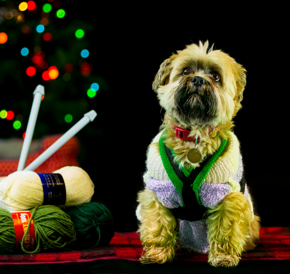 Recue animal photography in London. A dog in his Christmas Jumper for the Wood Green Animal rehousing charity