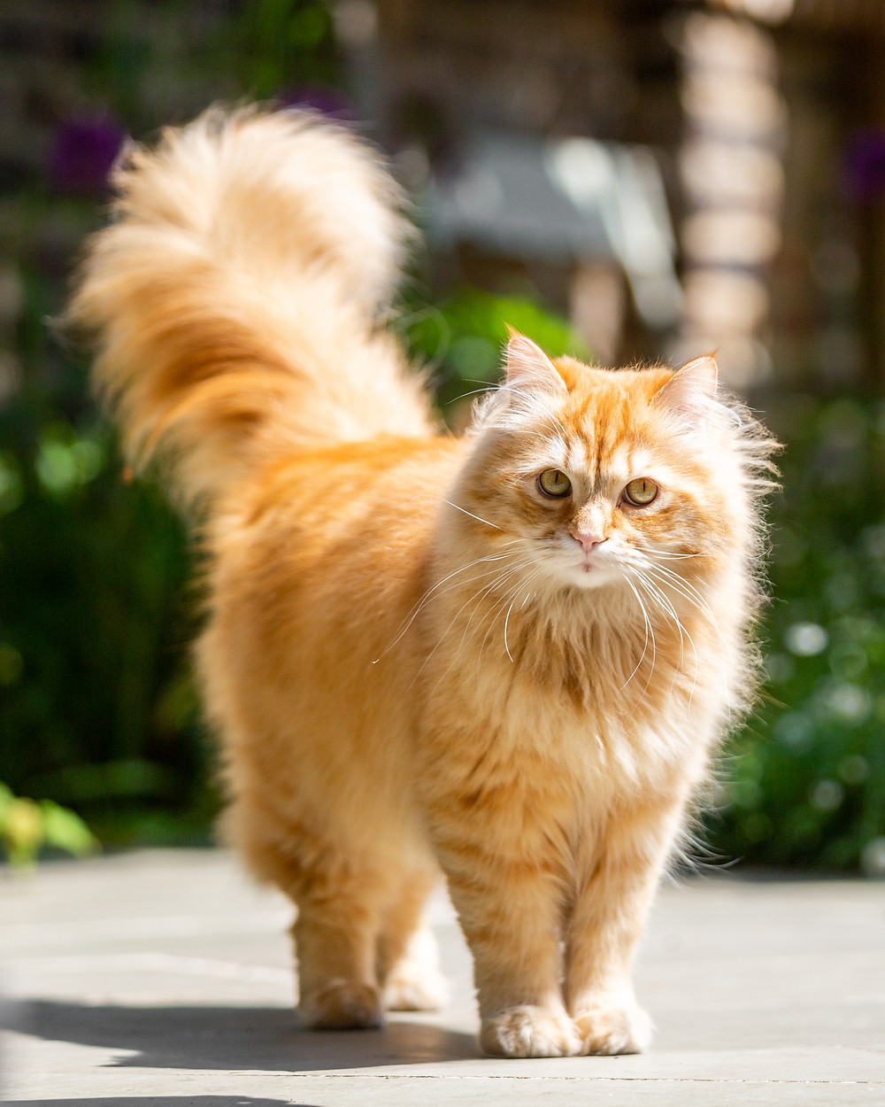 Cat photography in London. A beautiful ginger cat posing