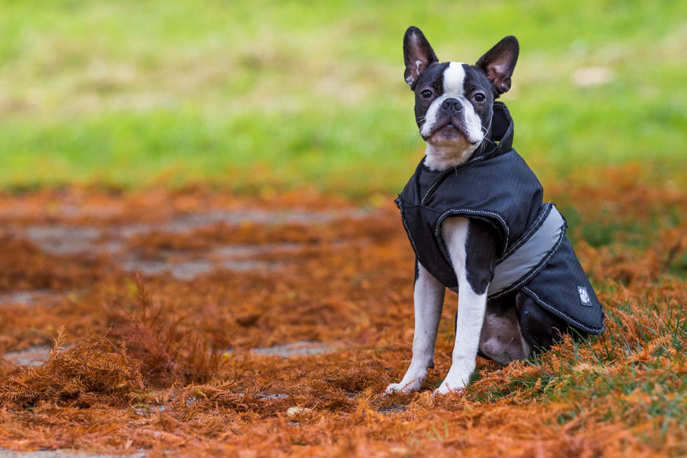 London Dog Photography. Elvis the Boston Terrier sitting in the park.