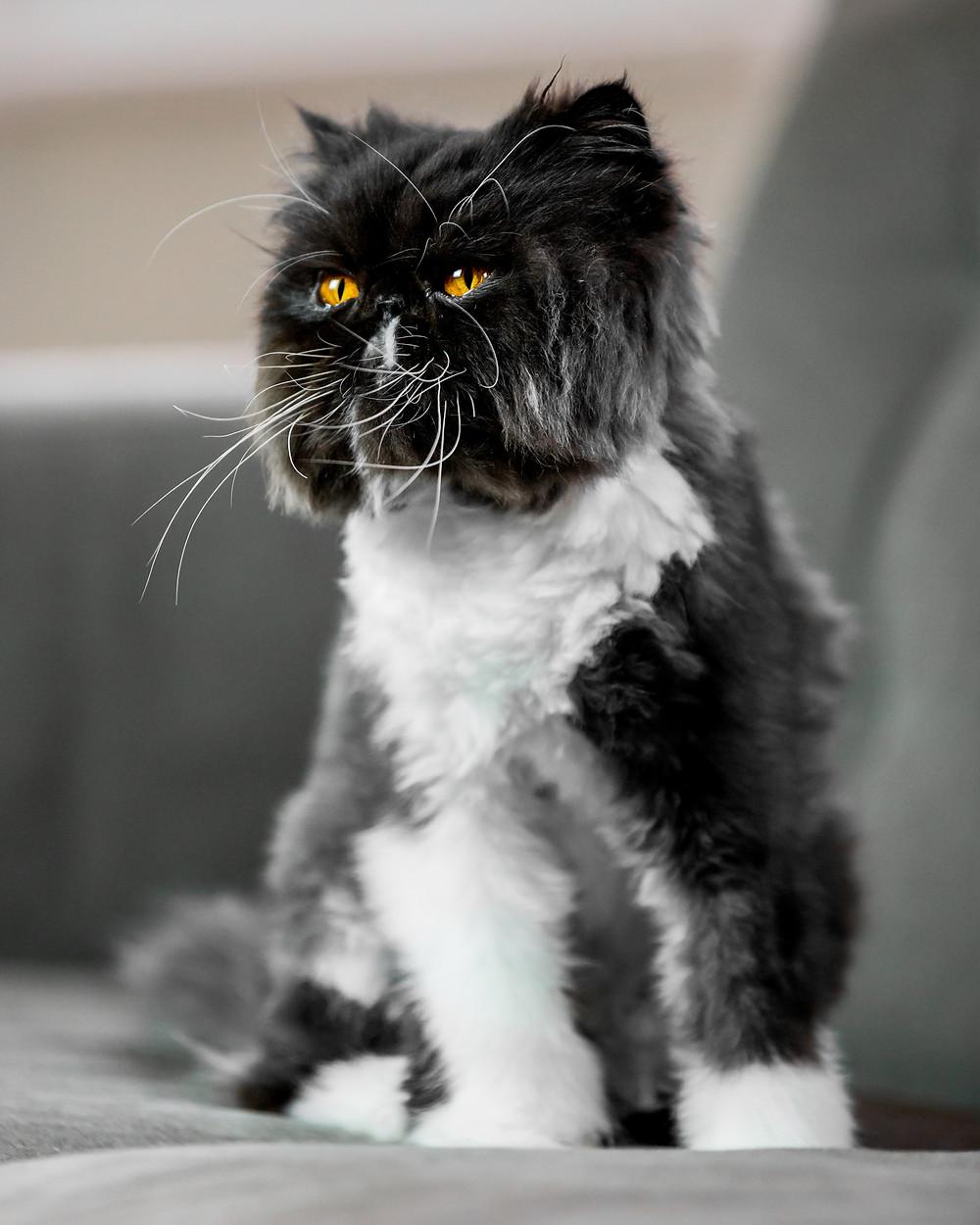 Cat photography in London. Sebastian the Persian cat