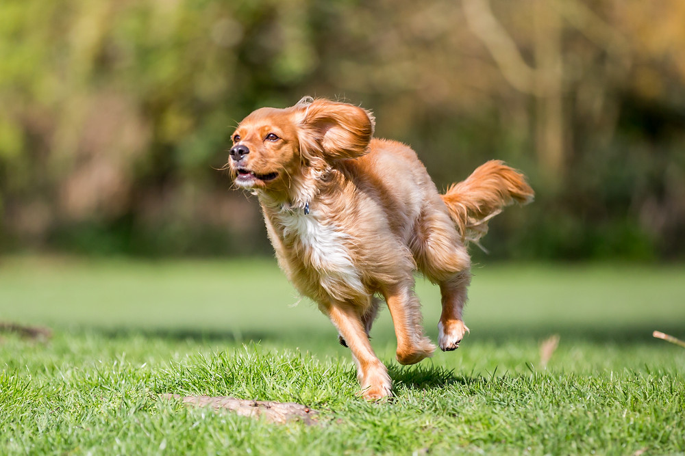Dog photography in London. Parker running across the park