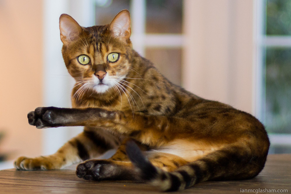 Cat photography in London. Conan the Bengal grooming.