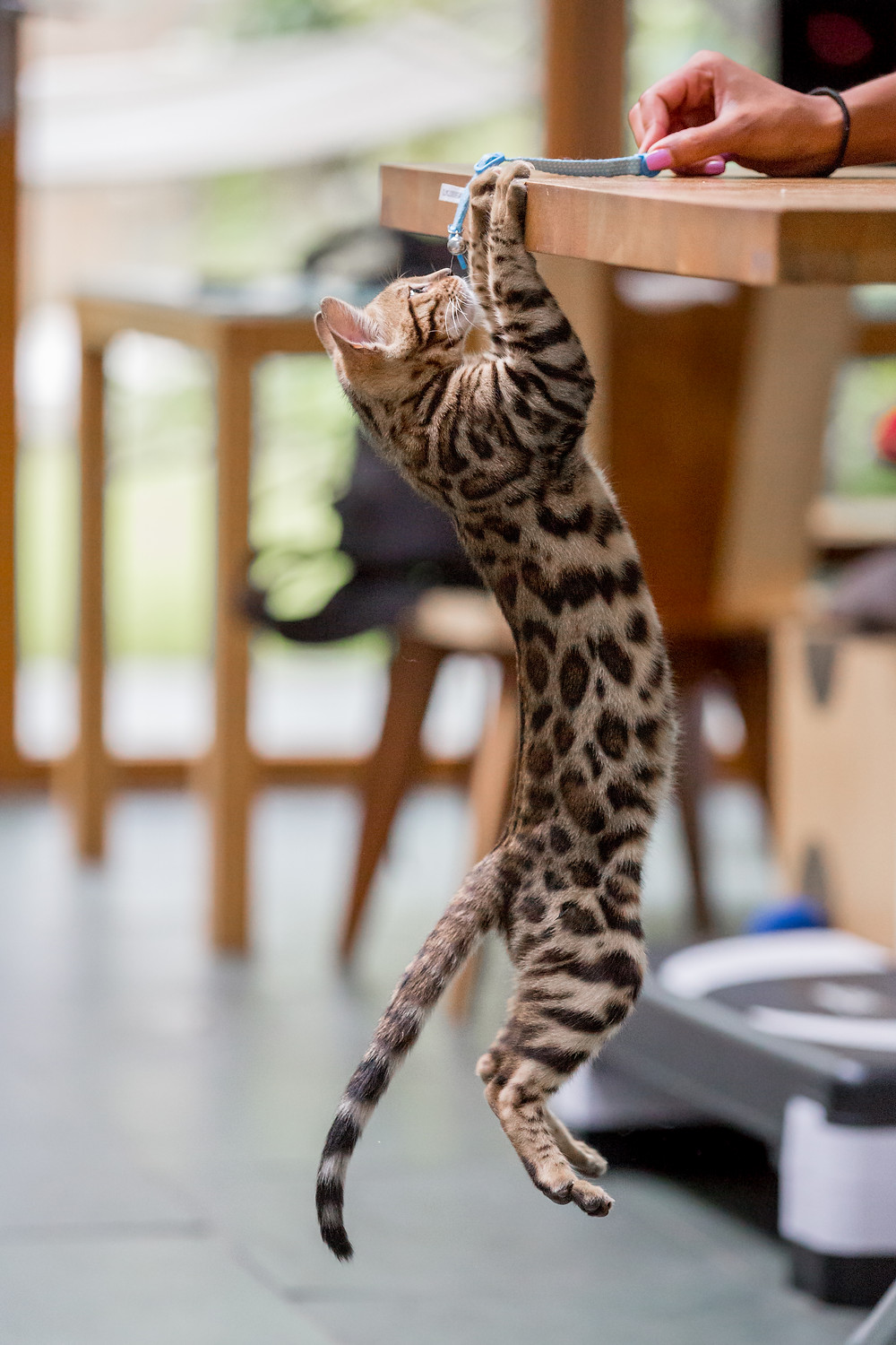 Cat photography in London. Bagheera the Bengal Kitten playing with her owner
