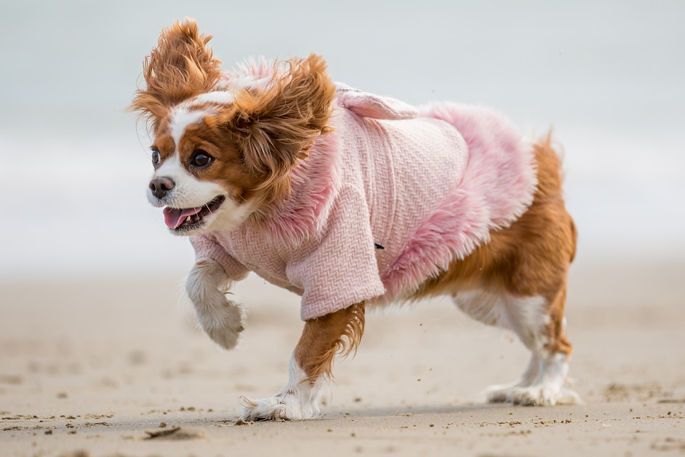 Pet photography in London. King Charles Spaniel, Tiffany running over the sand