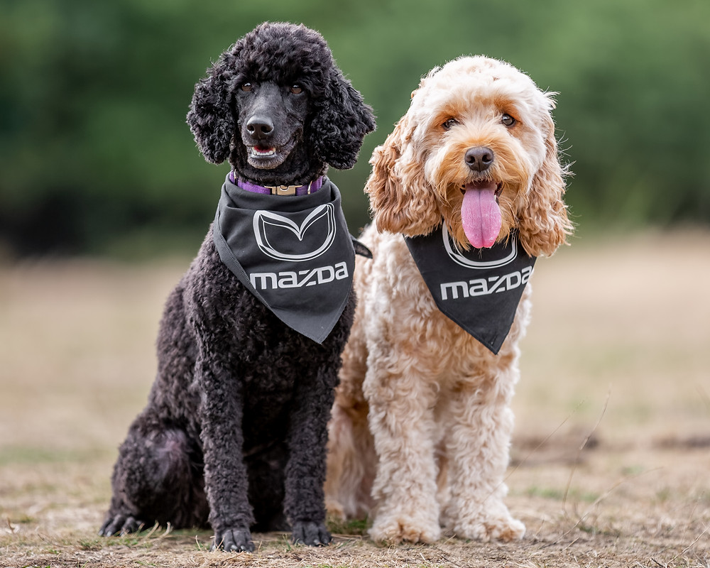 Dog photography in London.  Tilly and cookapoomarley on Coombe Hill, Chiltern for Mazda CX-5. #dogsinboots