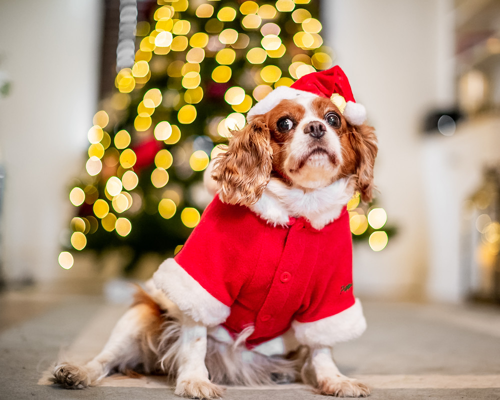 Pet Photography in London, Tiffany the King Charles Spaniel ready for Christmas