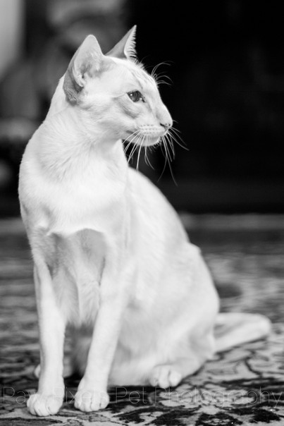 Jack the Peach Point Siamese cat