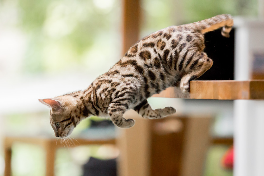 Cat photography in London. Bagheera the Bengal Kitten jumping from the table