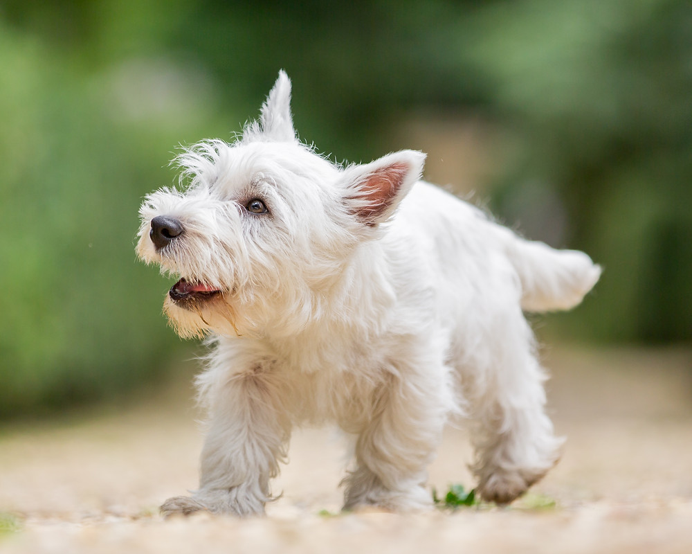 Pet photography in London. West Highland Terrier - Hector Walking around Chiswick House Park and Gardens