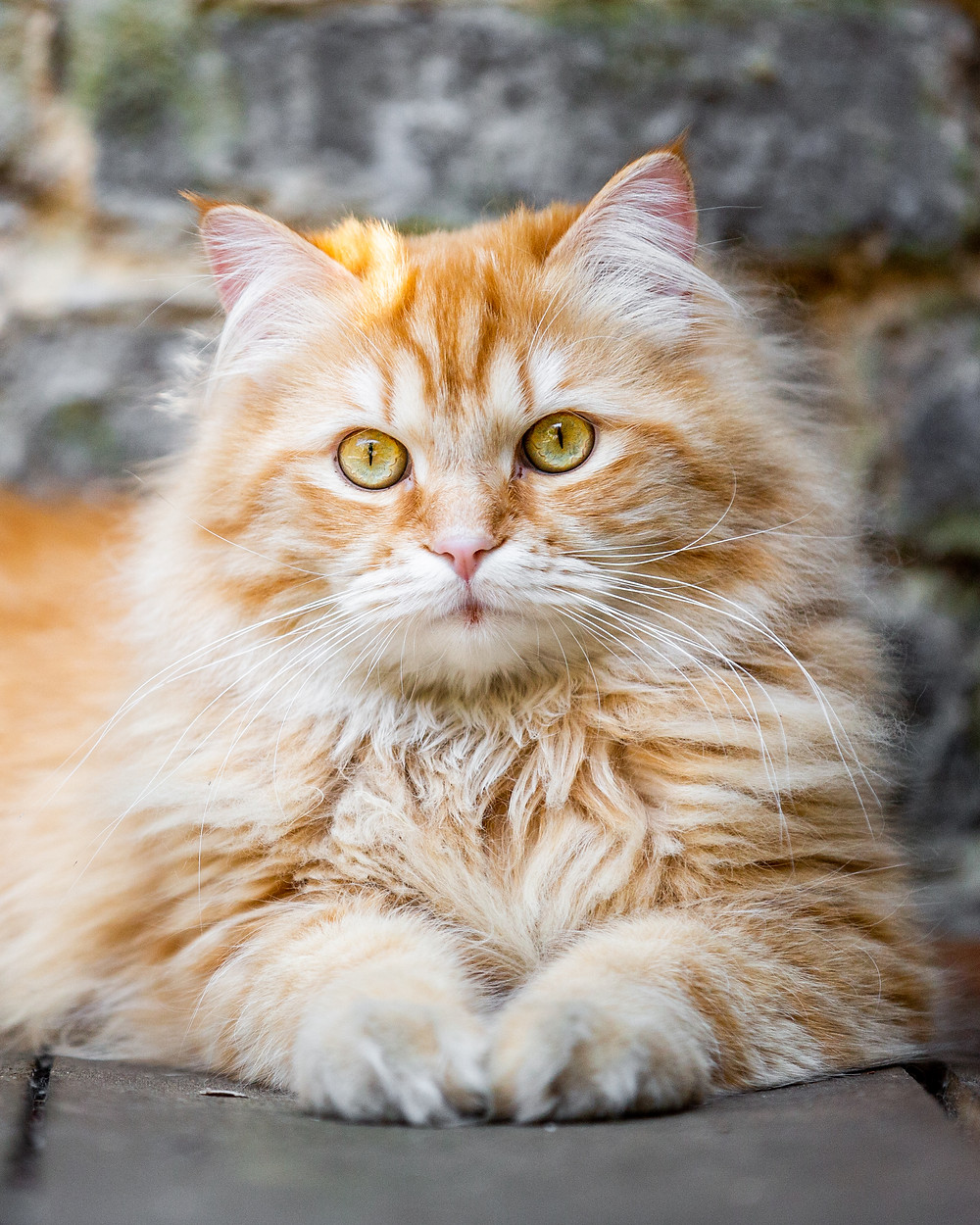 Cat photography in London. A beautiful ginger cat looking into the camera