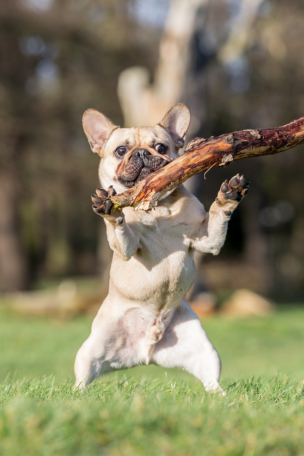 Dog photography in London. Bear the French Bulldog with a stick!