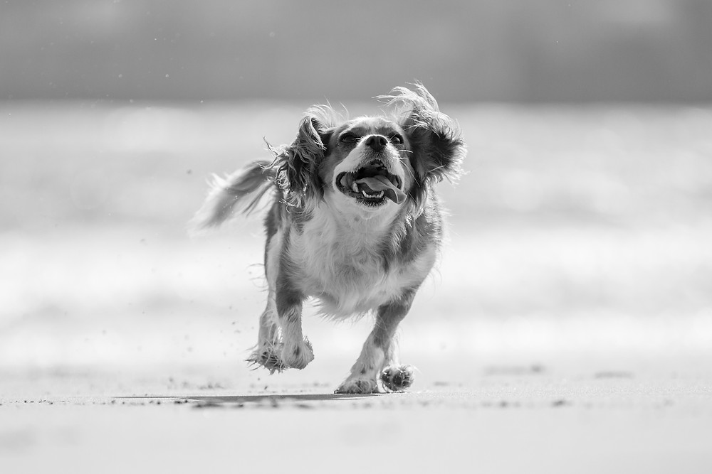 Animal photography in London. King Charles Spaniel, Tiffany running across the beach