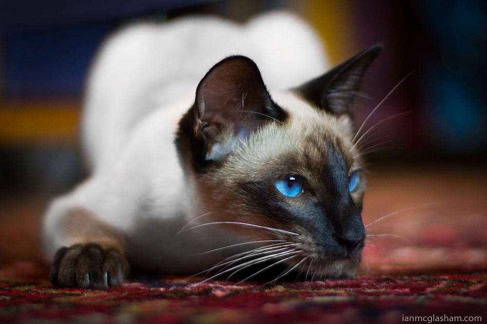 Cat photography in London. Xena the seal point siamese cat with beautiful blue eyes.
