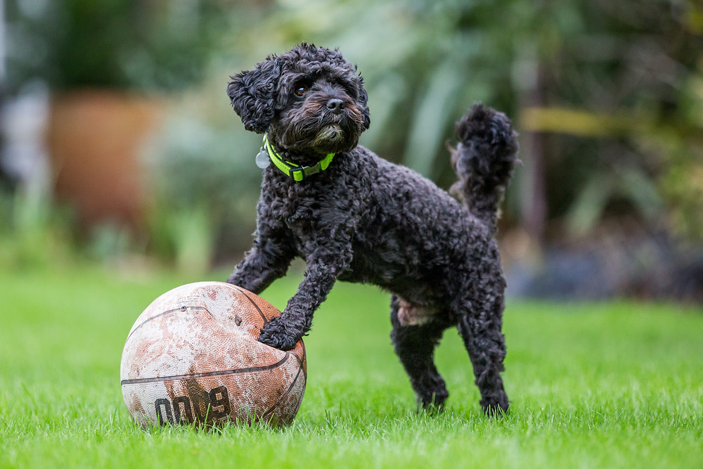 Dog photography in London. Milo the cavapoo with his basketball
