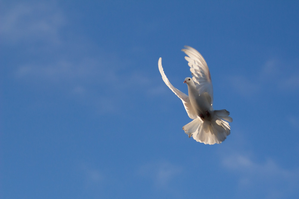 Animal photography in the UK. White dove flying