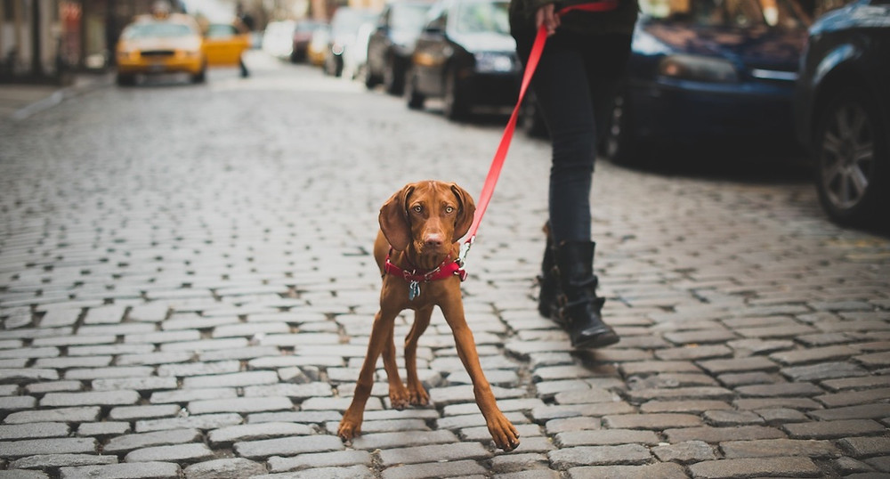 Dog photography in New York. A red Wiemeraner on the cobbled streets of Manhatten