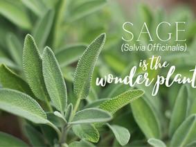 Healing Sage (Salvia Officinalis)