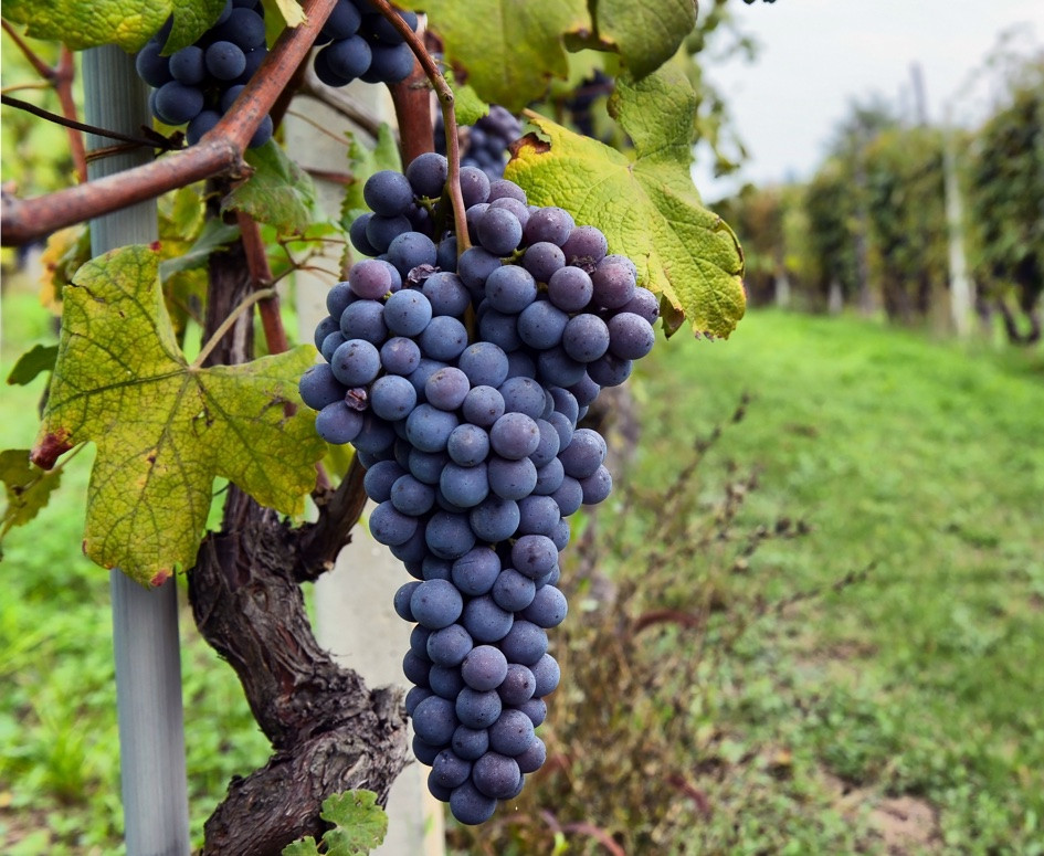 Co-Own a vineyeard in the birthplace of wine