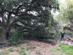 Cork oak in the garden