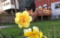 elizabeth daffodils.jpg