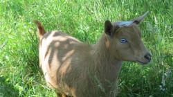 Blue eyed doe