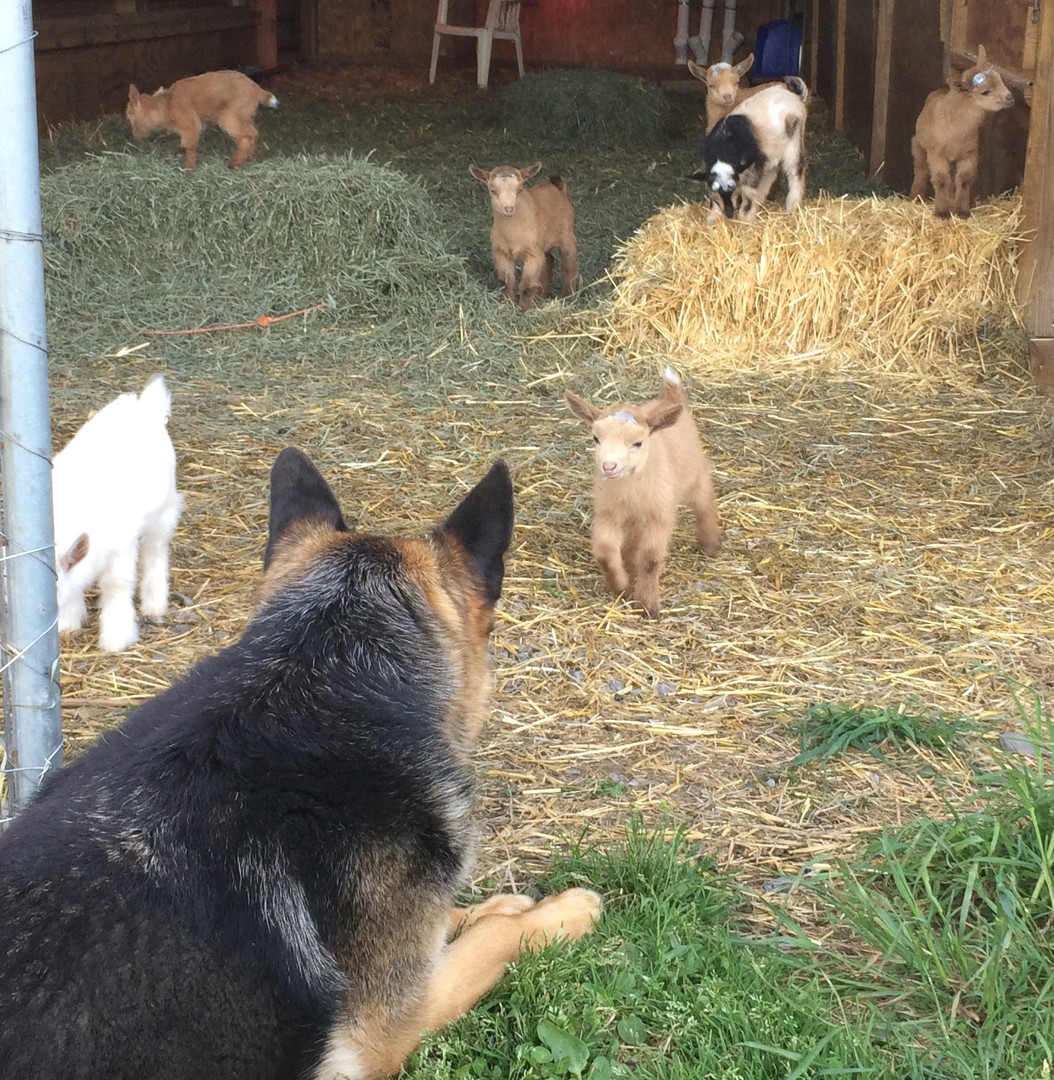 Our shepard Josie socializing with the kids