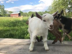 Nigerian Dwarf Goat Bucklings