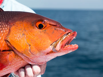Red Snapper - Andaman Islands