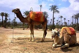 Camel  Ridding in Marrakech