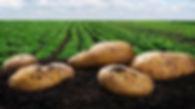 potato_image.jpg